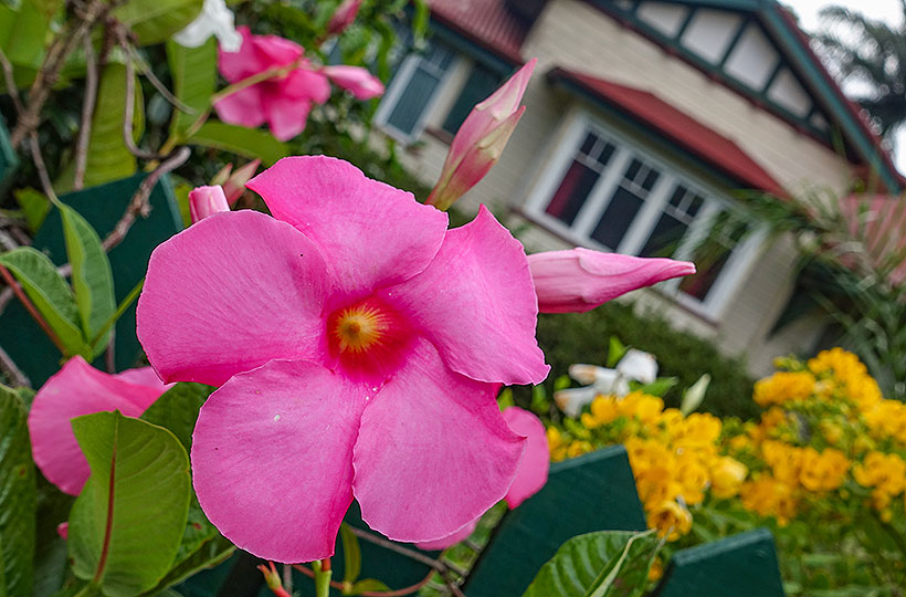 Blooms Around Yungaburra's Streets